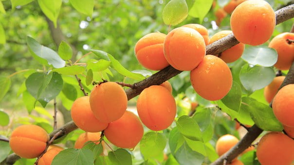 Marelice – oranžni sadež poletja
